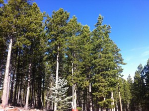 pine trees - prevent spring allergies